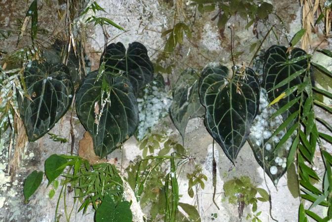 Anthurium crystallinum for Bd du jardin botanique
