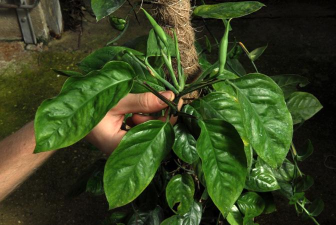 Anadendrum superans Jardin botanique nancy