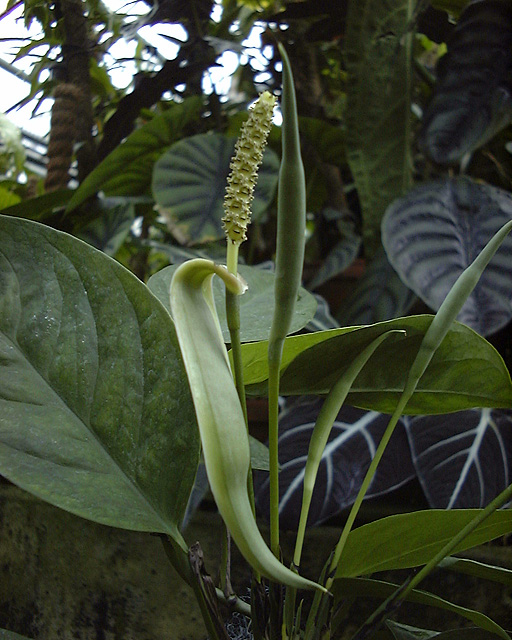 Anadendrum microstachyum for Jardin botanique nancy