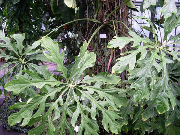 Anthurium clavigerum Jardin botanique nancy