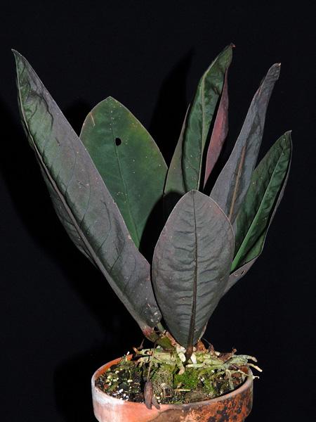 Anthurium willifordii - Anthurium turenza ...