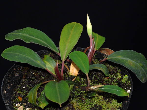 Bucephalandra motleyana Jardin botanique nancy