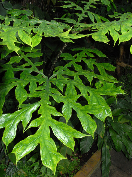 Dracontium gigas Jardin botanique nancy