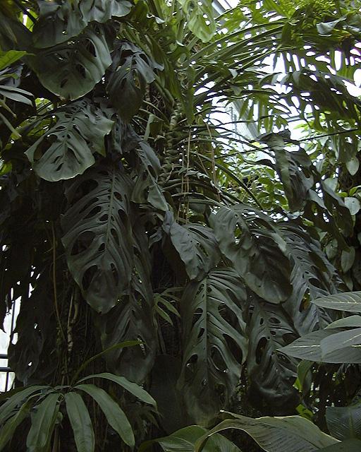 Monstera sp nov Jardin botanique nancy