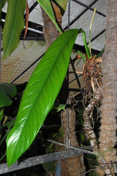 Philodendron sp peru Jardin botanique nancy