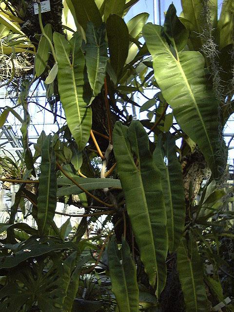 Philodendron billietiae Jardin botanique nancy