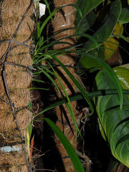 Philodendron chinchamayense Jardin botanique nancy
