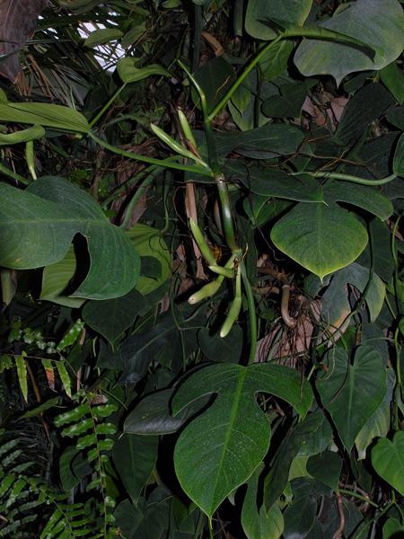 Philodendron panduriforme for Jardin botanique nancy