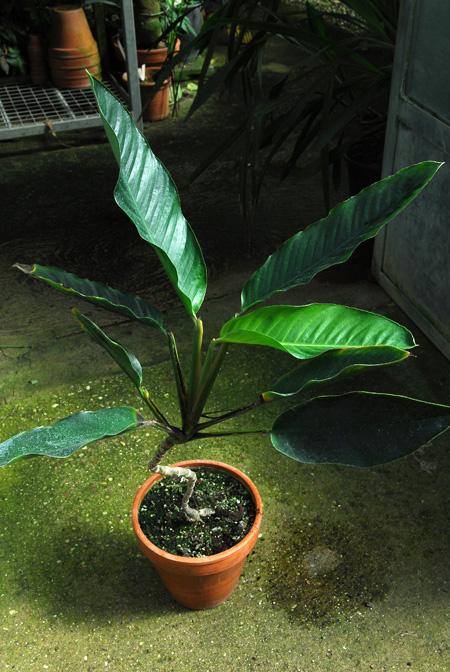 Rhodospatha bogneri Jardin botanique nancy