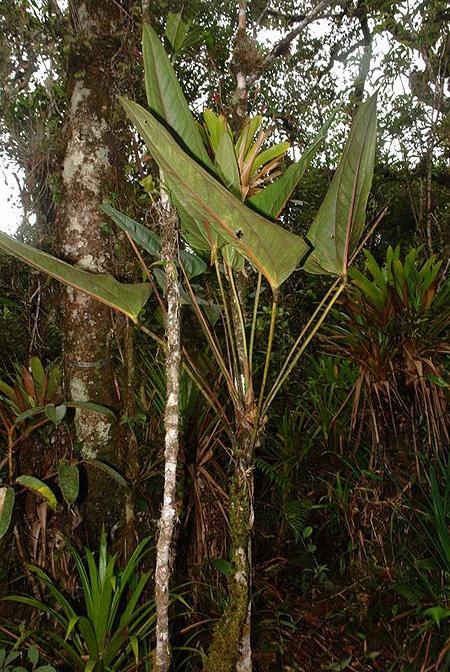 Anthurium grubii - Anthurium turenza ...